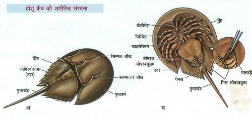 हॉर्शू क्रैब की शारीरिक संरचना