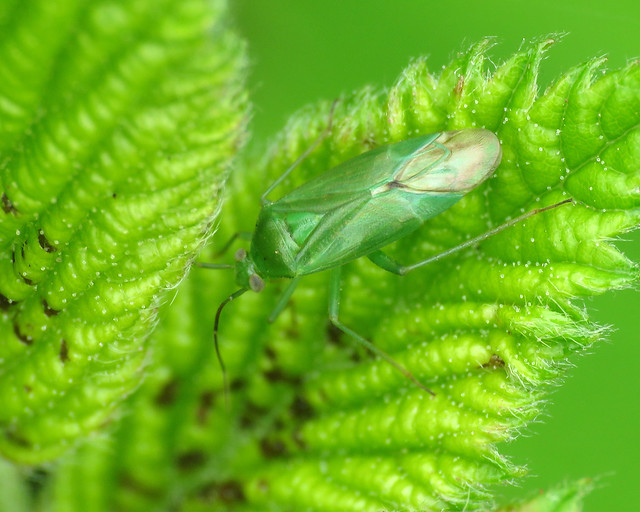 Common Green Capsid - Lygocoris pabulinus