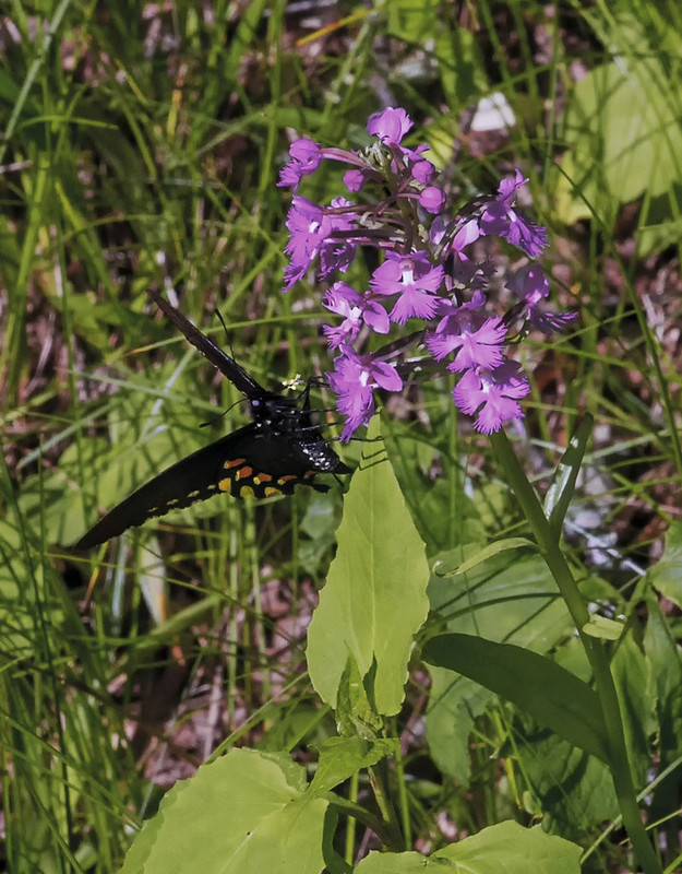 Pollination of Large Purple Fringed orchid by Pipevine Swallowtail butterfly