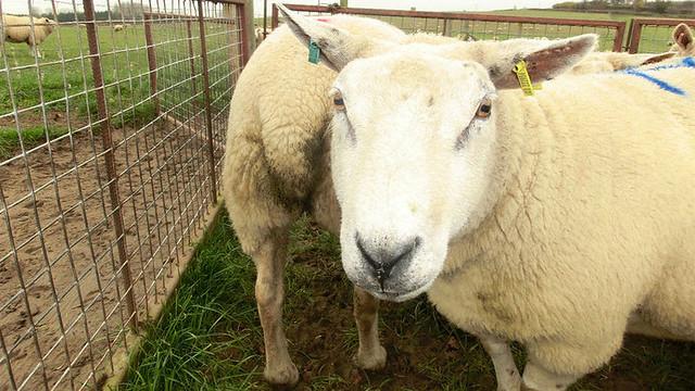 Sheep feel Pain