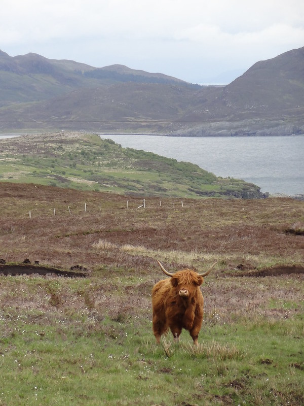 Highland cow, Strathaird peninsula