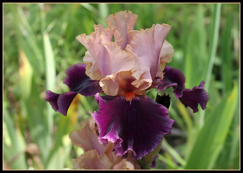Iris 'Naples' - Thomas Johnson 2000  35095972816_f5c9682b0b