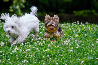 Latte and Java go frolicking in the clover | by Phil Marion