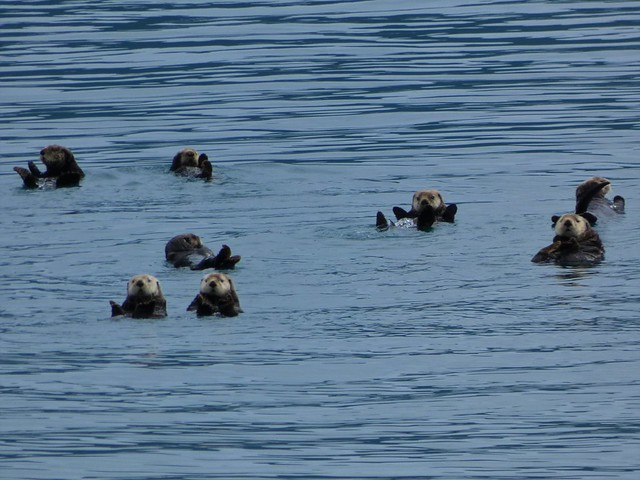 Nutrias marinas en Alaska
