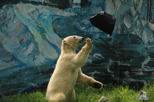 Eisbär Fiete im Zoo Sosto 30.05.2017 030