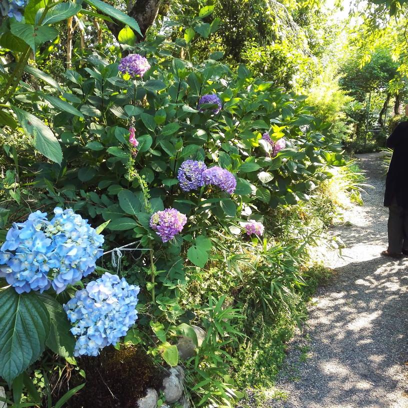 恵心院の紫陽花