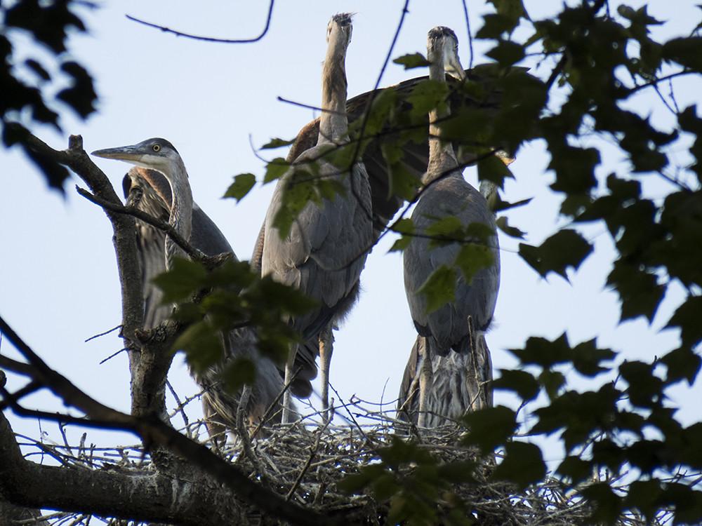 GBH nest