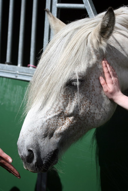 Highland pony
