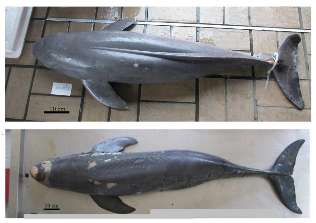 擱淺於臺灣海峽之江豚。上圖為窄脊江豚,下圖為寬脊江豚。(攝影:姚秋如、洪巧芸)