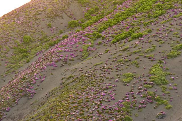 高千穂峰 ミヤマキリシマの大群生