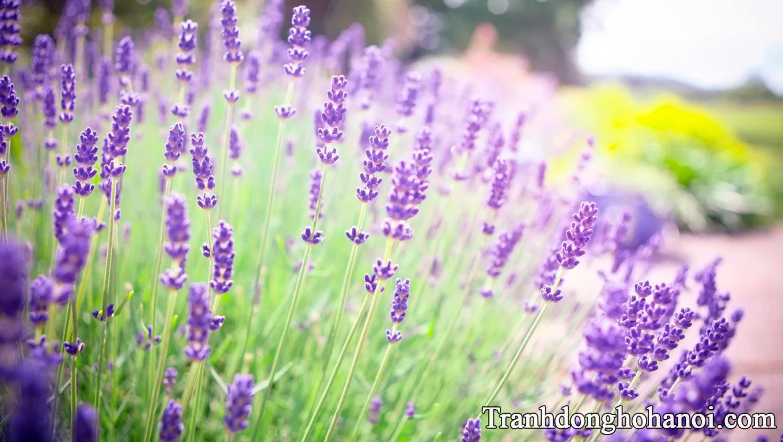 Tai anh hoa lavender dep cung AmiA