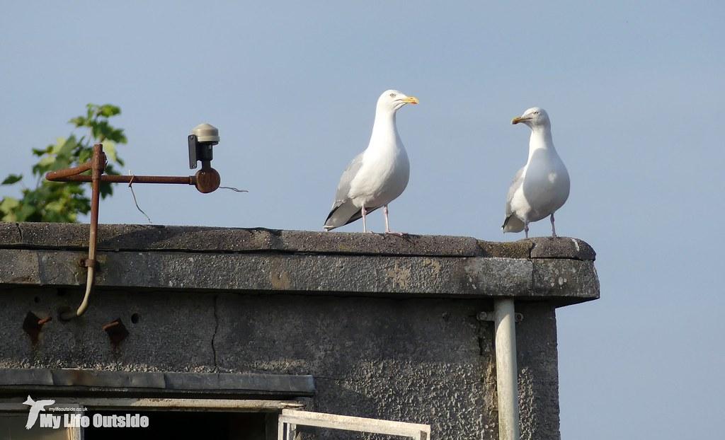 P1080768 - Herring Gulls, Llanelli