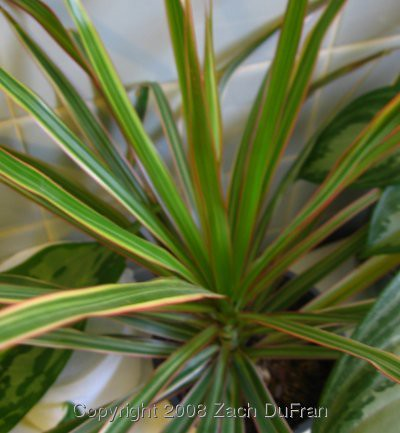 cordyline_stripe