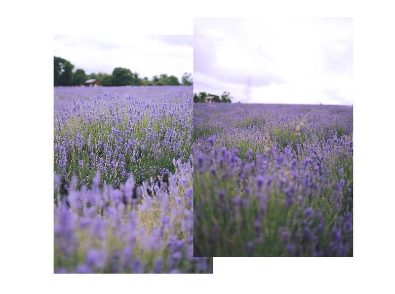 lavender dreams 10