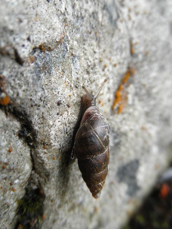 Ena montana