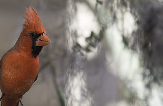 Northern Cardinal | by searchnetmedia