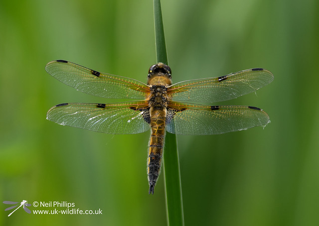 4 spotted chaser-2