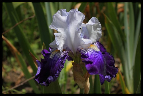 Iris 'Saint-Malo' - R-L. Vasquez-Poupin 2007 34306033953_e759317b55