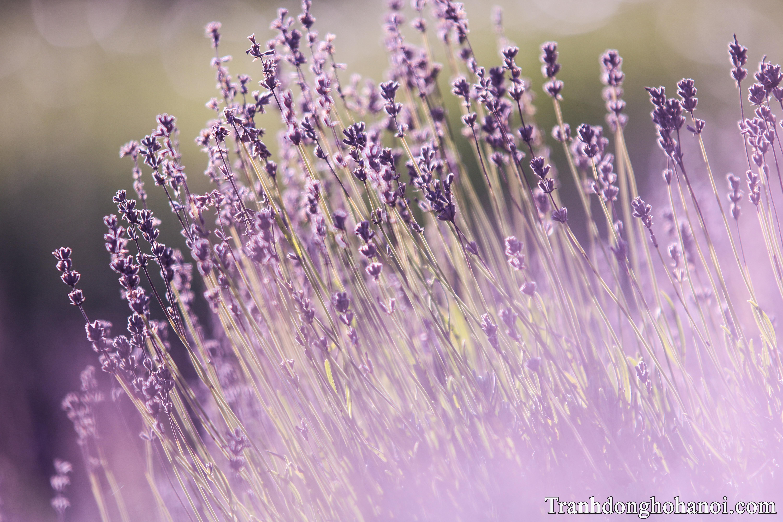 Buc anh hoa lavender dep nhat AmiA