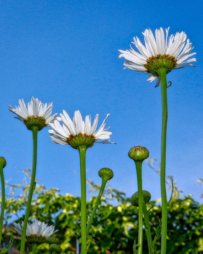 Upsy Daisy Parowan496 Flickr