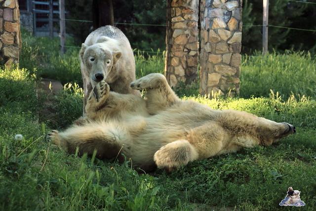 Eisbär Fiete im Sosto Zoo 28.05.2017 229