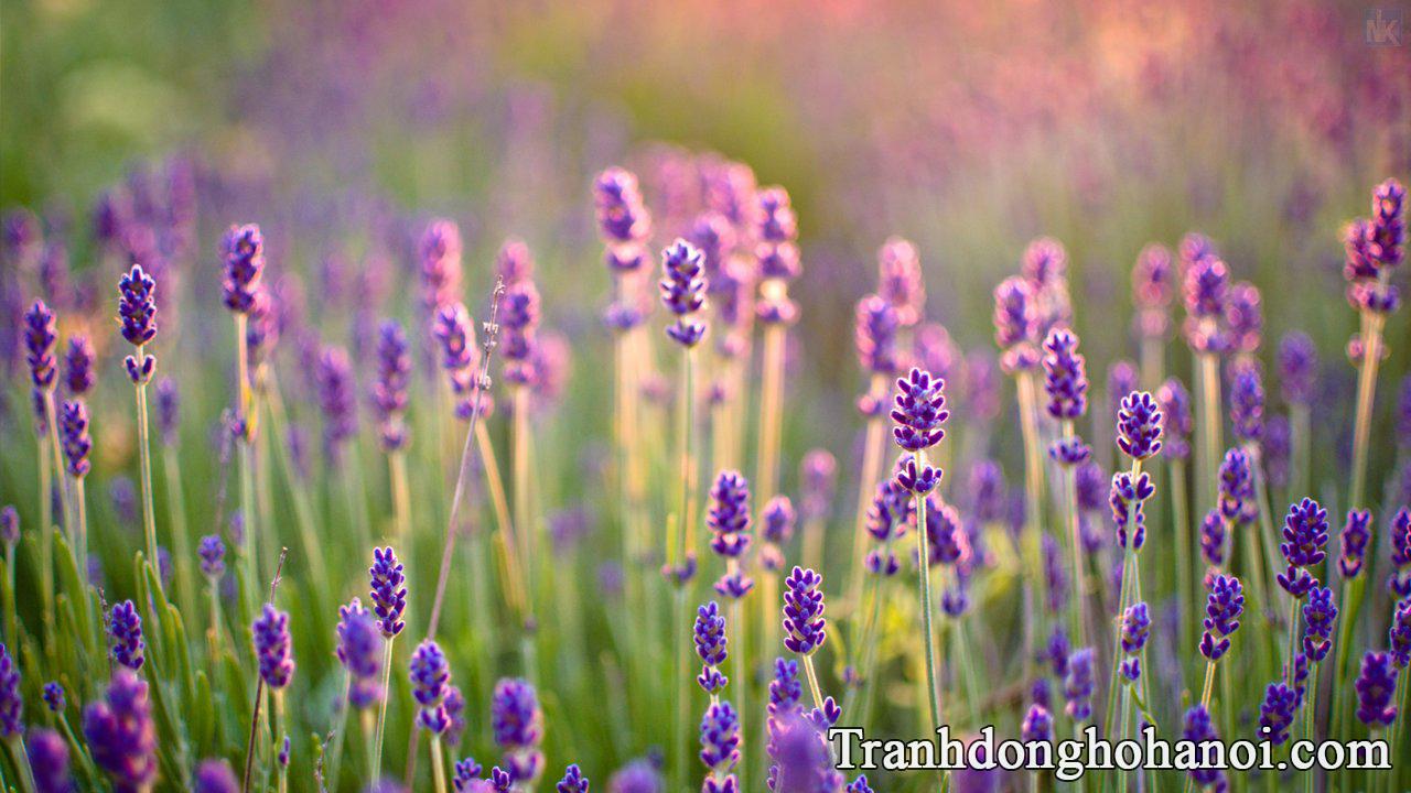 Tai hinh anh hoa lavender dep nhat AmiA