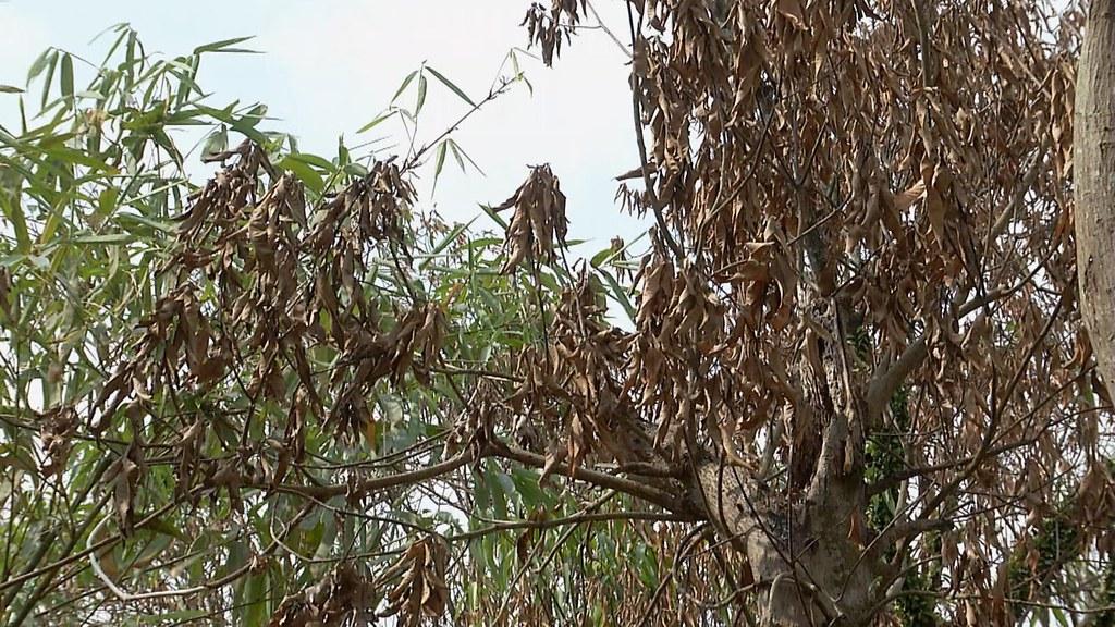 911-2-12 六龜120多棵土芒果樹,異常枯黃落葉,靠近根部的樹幹上,明顯遭人鑽孔灌入化學液體。