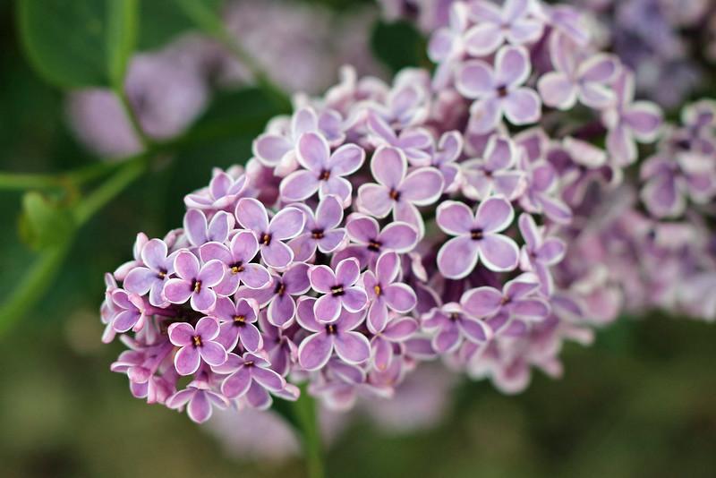 Lilacs 2017