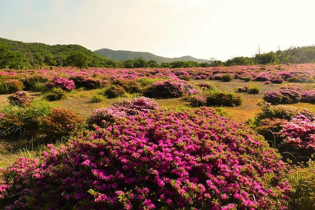 高千穂峰 鹿ヶ原のミヤマキリシマ