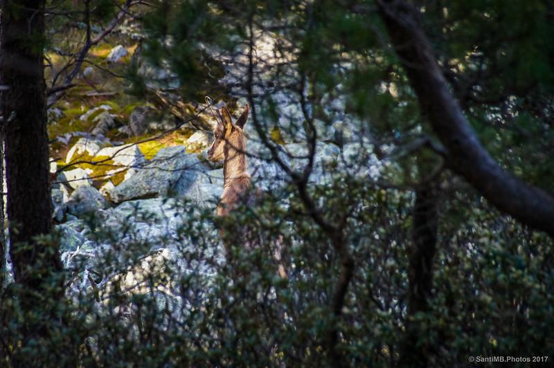 Rebeco en la Vall de Ribes