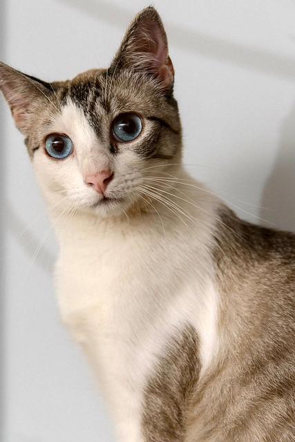 Iris, gatita cruce siamesa dulce y mimosona esterilizada, nacida en Agosto´16, en adopción. Valencia. ADOPTADA. 34245814494_ac1abf8fb4_z