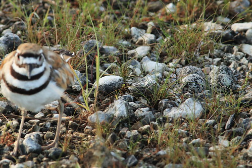 Killdeer and nest 05-20170617