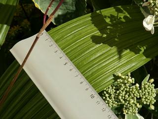 Bletilla striata - orchidée du Japon - Page 3 34565534273_c247cfe107_n
