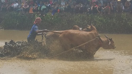 cow racing in Sumatra, Indonesia