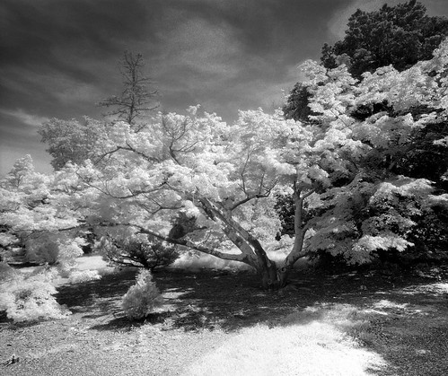 National Arboretum Infrared Film Documentation: This tree is In the Gotelli Dwarf Slow Growing Conifer Collection. | by Amanda Kleinman