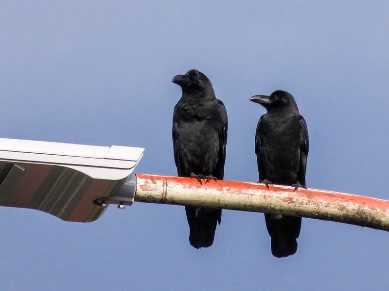 Jungle crow's couple
