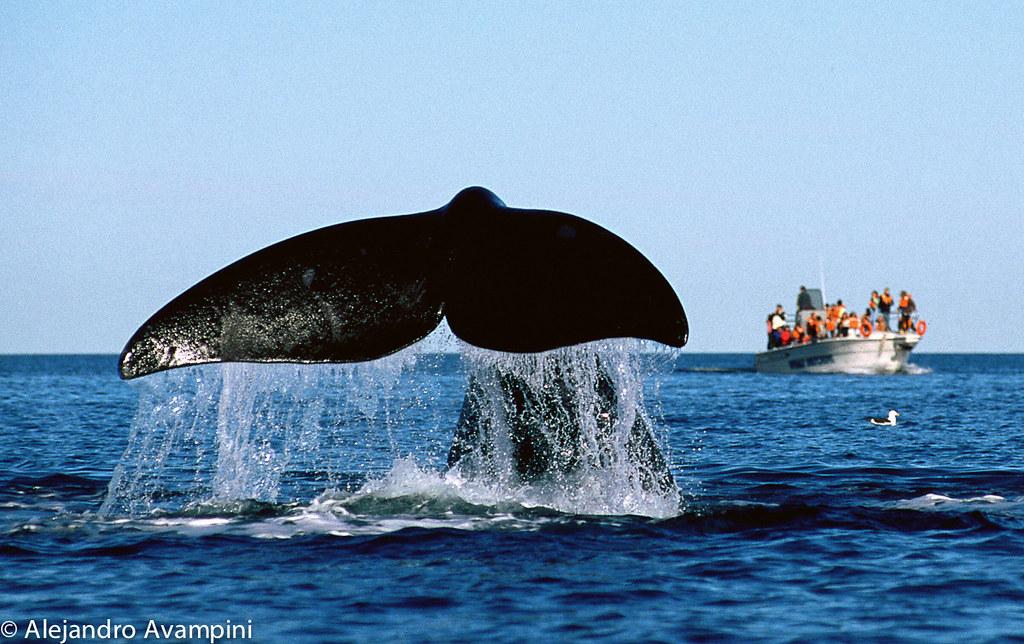 Avistaje de ballenas Peninsula Valdes