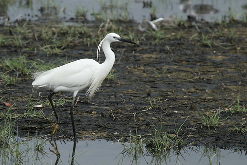 little_egret_cyuntak