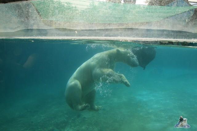 Eisbär Fiete im Zoo Sosto 30.05.2017 056