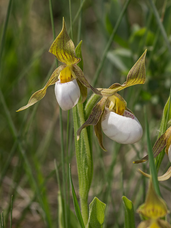 Double-flowered Small White Lady's-slipper orchid