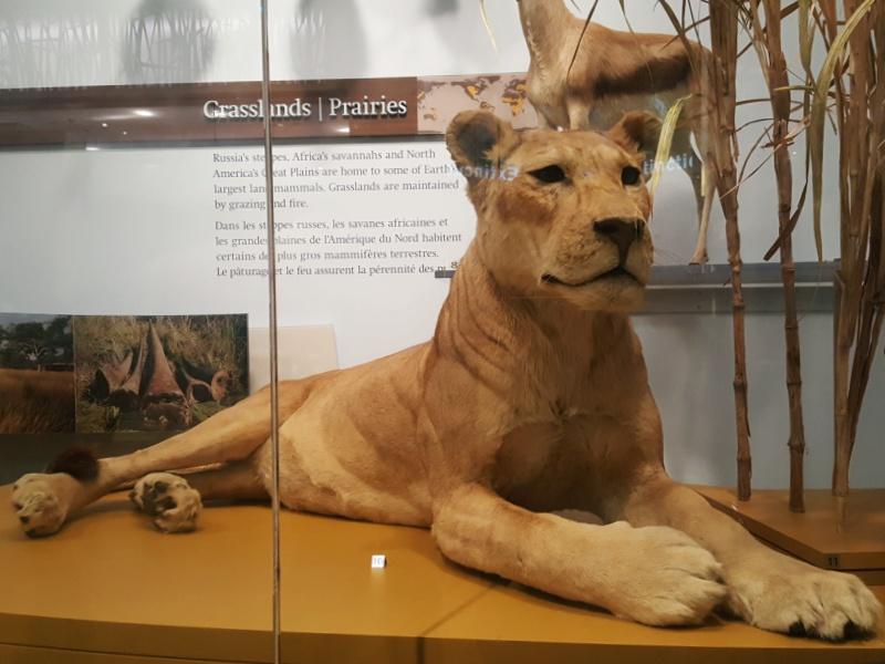 ROM Toronto lion