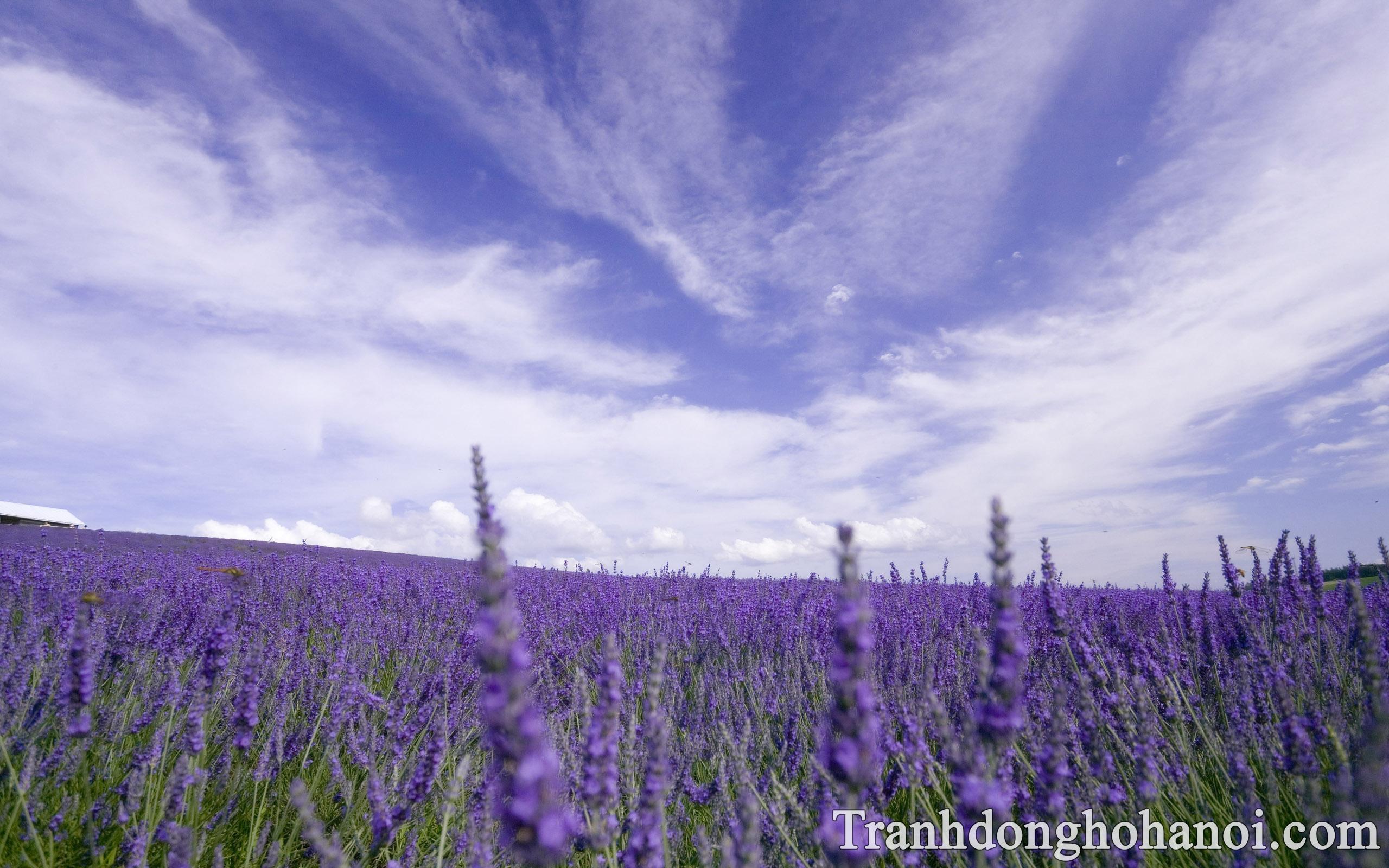 Hinh anh hoa lavender dep giua bau troi trong xanh AmiA