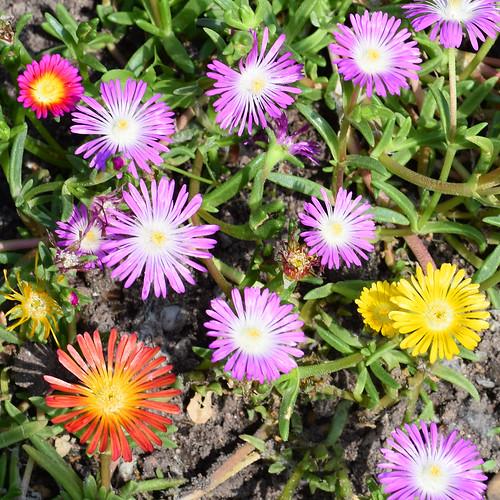 Gartenreisen / Pflanzenfotografie ... Juni 2017: Es grünt und blüht, wächst und gedeiht im Mannheimer Herzogenriedpark ... Fotos: Brigitte Stolle, Juni 2017