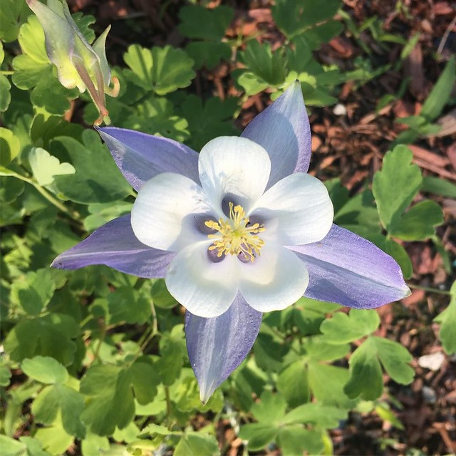 Aw aren't you a pretty #columbine.