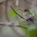 Beija-flor dourado