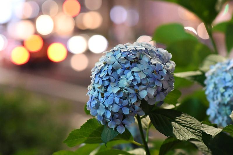 銀座の電通通りに咲くアジサイ