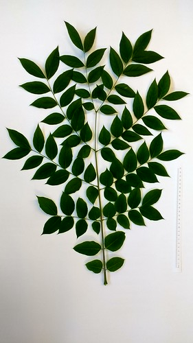 Gymnocladus leaf