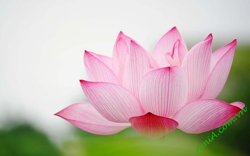 Hinh anh tranh dpng ho hoa sen dep tai AmiA Ha Noi