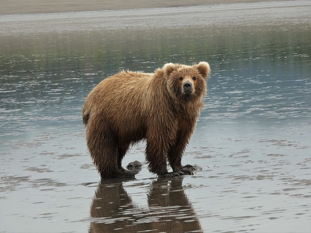Oso en Lake Clark National Park (Alaska)
