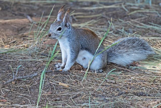 Abert's-Squirrel-2-7D2-060917